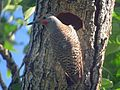 Northern Flicker Red-shafted - Flickr - GregTheBusker (1).jpg
