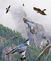 Northern Goshawk From The Crossley ID Guide Raptors.jpg