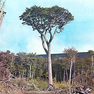 <i>Nothofagus betuloides</i> species of plant