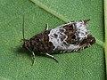 Notocelia rosaecolana (42269389764).jpg