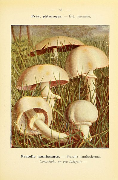 File:Nouvel atlas de poche des champignons comestibles et vénéneux (Pl. 41) (6459642223).jpg