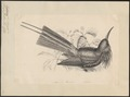 Nyctiornis forsteni - 1700-1880 - Print - Iconographia Zoologica - Special Collections University of Amsterdam - UBA01 IZ16800299.tif