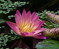 Nymphaea Albert Greenberg 0245.jpg