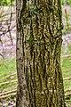 Nyssa aquatica in Hackfalls Arboretum (1).jpg
