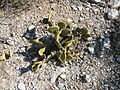 OPuntia microdysis (5729696823).jpg