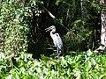 Ocala Silver River bird03.jpg