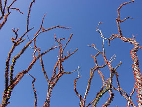 alt=Description de l'image Ocotillo_02.jpg.