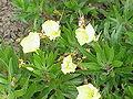 Oenothera missouriensis3.jpg