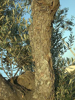 Tronc d'olivier à Bela Vista (Lisbonne, Portugal).