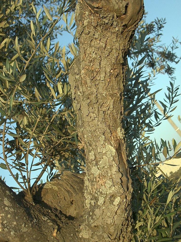 Olive-tree-trunk-0