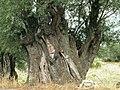 Olive tree - panoramio.jpg