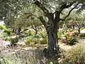 Olive trees in the traditional garden of Gethsemane (6409632377).jpg