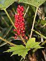 Oplopanax japonicus fruits.JPG