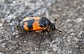 Orange and Black Beetle.jpg
