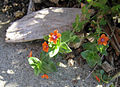 Orange weed1.jpg