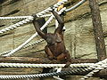 Orangutan (bornean) 01.JPG