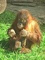Orangutan (sumatran) 01.JPG
