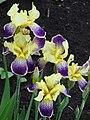 Orchid in Garden - Biei - Hokkaido - Japan (48023422637).jpg