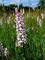 Orchids on a managed traffic island. - geograph.org.uk - 325912.jpg