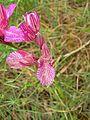 Orchis papilionacea ssp.alibertis.jpg