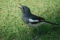 Oriental magpie-robin (18381376261).jpg