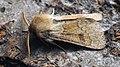 Orthosia miniosa - Blossom underwing - Ранняя совка рыжеватая (47995773197).jpg
