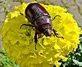 Oryctes nasicornis (European rhinoceros beetle)(Sarvikuonokas).9.jpg
