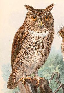 Otus silvicola 1897.jpg