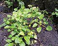 Oxalis simplicifolia.jpg