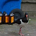 Oystercatcher, Edinburgh (14446451185).jpg