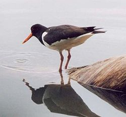Oystercatcher pecking the water.jpg