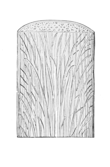 PSM V36 D387 3 Section of palm stem.png