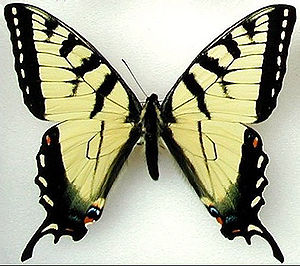Papilio appalachiensis - Male holotype