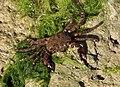 Pachygrapsus marmoratus 2012 G3.jpg