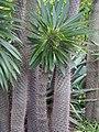 Pachypodium lamerei 2014-10-12 04.jpg