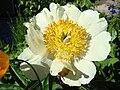 Paeonia Claire de Lune1a.UME.JPG