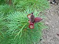 Paeonia tenuifolia 2016-05-31 1687.jpg