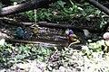 Painted Bunting, Worm-eating Warbler, Tennessee Warbler, Indigo Bunting (bathing) Boy Scout Woods High Island TX 2018-04-11 12-40-00 (39993428470).jpg