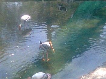 Painted storks in the water (Vandalur zoo).jpg