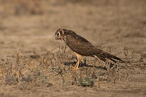 Regurgitation (digestion) - Image: Pallid harrier LRK Regurgitation 1