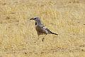 Pander's Ground Jay (Podoces panderi) (8079418356).jpg