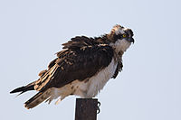 Pandion haliaetus - Osprey.jpg