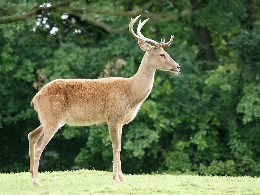 The average litter size of a Eld's deer is 1