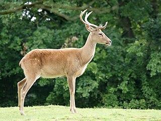 Elds deer A species of mammals belonging to the deer, muntjac, roe deer, reindeer, and moose family of ruminants