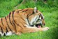 Panthera tigris at the Bronx Zoo 004.jpg