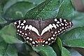 Papilio demodocus (Papilionidae) (4756632257).jpg