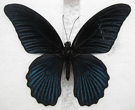Papilio memnon.jpg