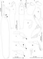Parasite180123-fig2 - Peniculus hokutae (Copepoda, Pennellidae).png