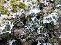 Parmotrema crinitum1.jpg