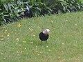 Part albino black bird - geograph.org.uk - 412761.jpg